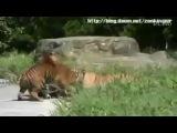 Сибирский тигр против бенгальского тигра
